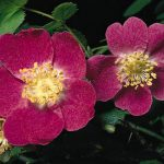 Rosa Mosqueta, la flor de la juventud