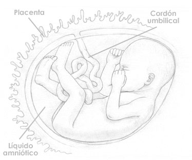 Veinticuatro semanas de embarazo